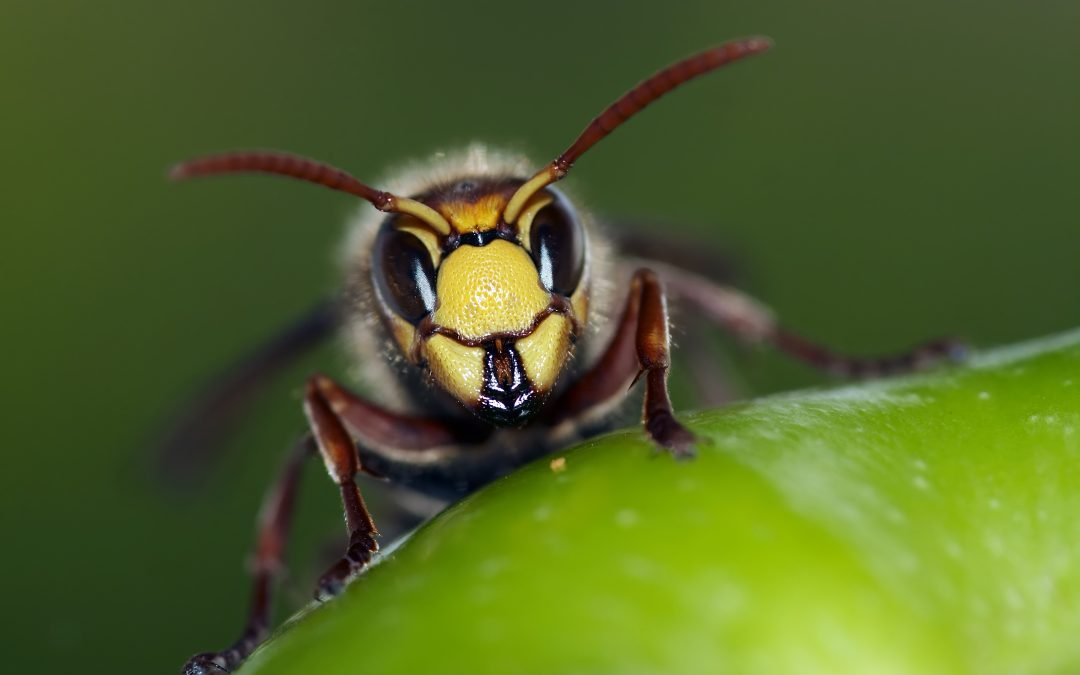Hornet and Wasp Control