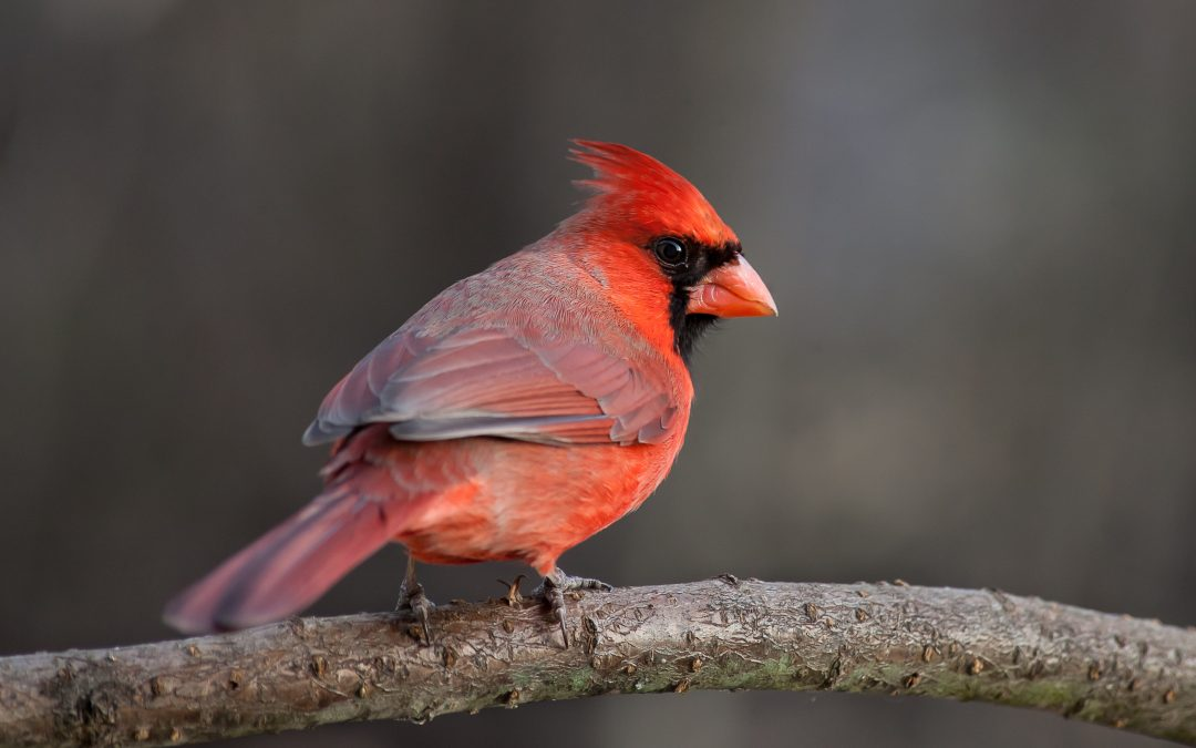 Interesting Facts about Cardinals