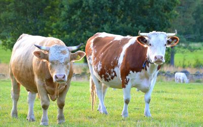 Supplements for your Cattle